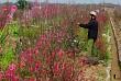 Hoa Đào Nhuộm Đỏ Nhật Tân Sau Tết Nguyên Đán